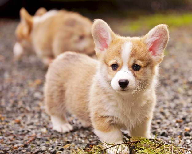 How Much Does A Corgi Puppy Cost
