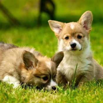 How Much Does It Cost To Buy A Corgi