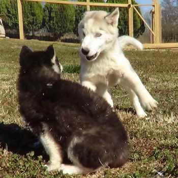 How Much Does It Cost To Buy A Husky Puppy