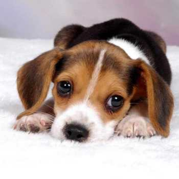 How Much Is A Beagle Dog