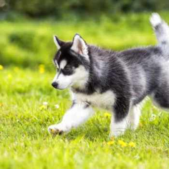 How Much Is A Husky Dog