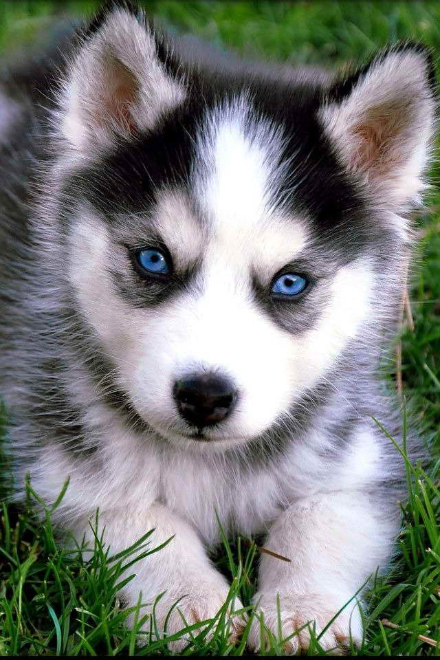 How Much Money Is A Baby Husky