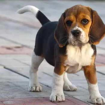How Much Should I Feed My Beagle