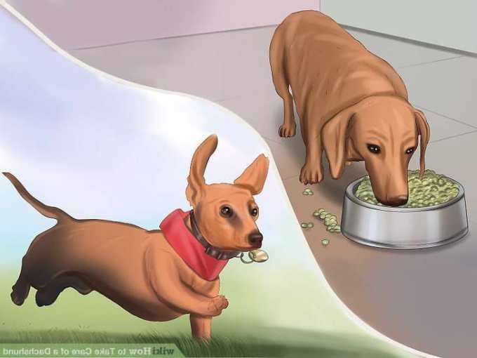 How To Care For A Dachshund