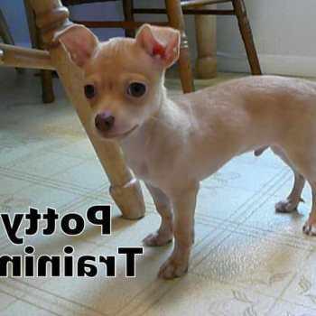 How To Housebreak A Chihuahua
