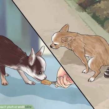 How To Litter Train A Chihuahua