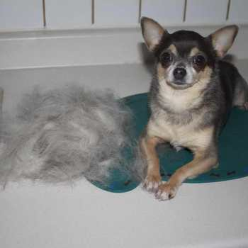 How To Stop A Chihuahua From Shedding