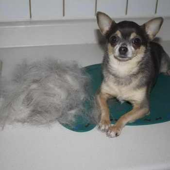 How To Stop Chihuahua From Shedding