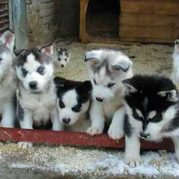How To Take Care Of A Husky Puppy