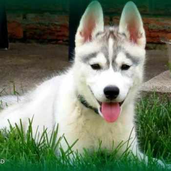 How To Train A Husky Dog