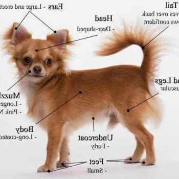 How To Train Chihuahua