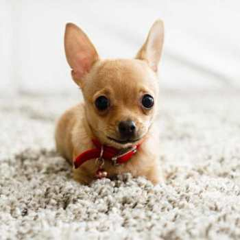 How To Train Your Chihuahua