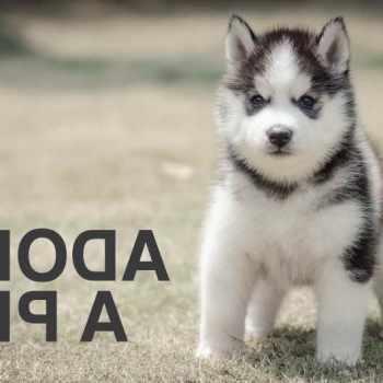 Husky Adoption Nj