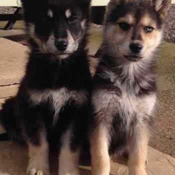 Husky And German Shepherd Mix Puppies For Sale