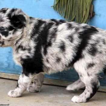 Husky Australian Shepherd Mix Puppies For Sale