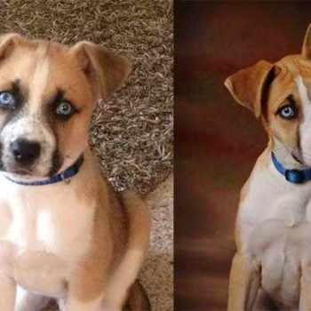 Husky Boxer Mix Puppies For Sale