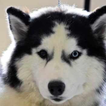 Husky Breed
