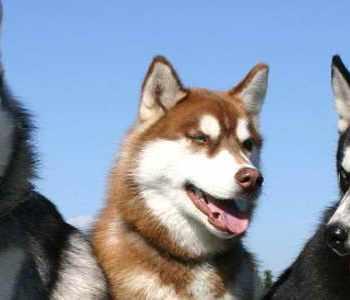 Husky Breeders Az