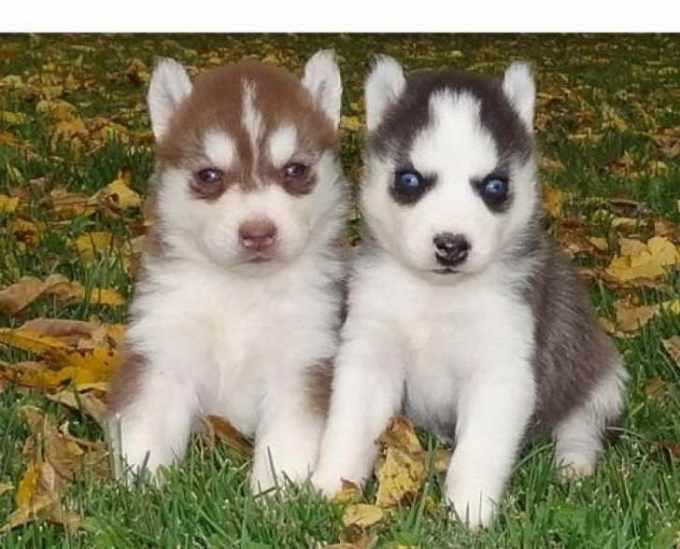 Husky Breeders Michigan