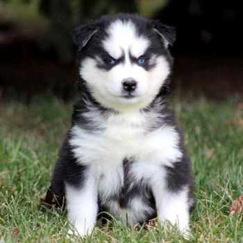 Husky For Sale In Pa