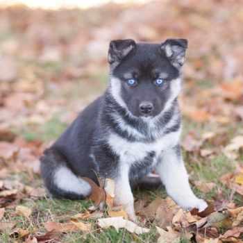 Husky German Shepherd Mix For Sale Mn