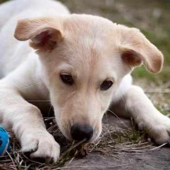 Husky Lab Mix Puppy