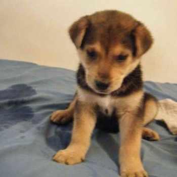 Husky Labrador Mix Puppies For Sale