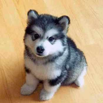 Husky Mix With Pomeranian Price