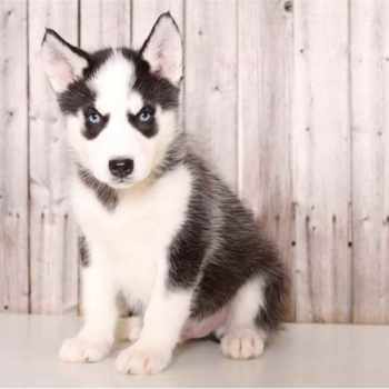 Husky Puppies Columbus Ohio