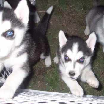 Husky Puppies For Adoption In California