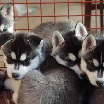 Husky Puppies For Sale Chicago