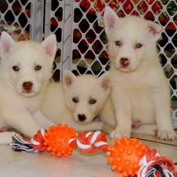 Husky Puppies For Sale Fresno Ca