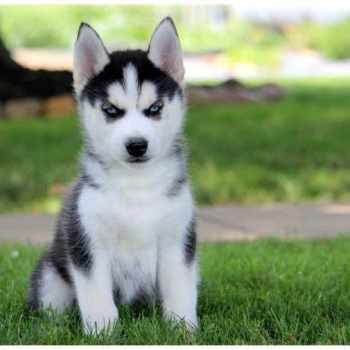 Husky Puppies For Sale In Cleveland Ohio