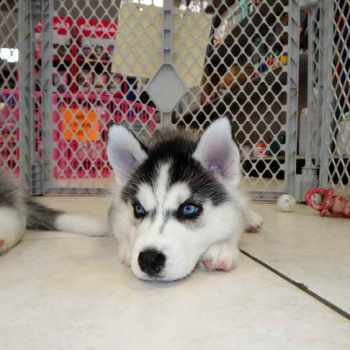 Husky Puppies For Sale In Lubbock Tx