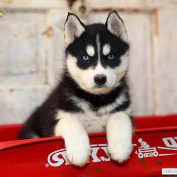 Husky Puppies For Sale In Pennsylvania
