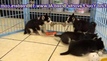 Dachshund Puppies For Sale In Wichita Ks | Pets and Dogs
