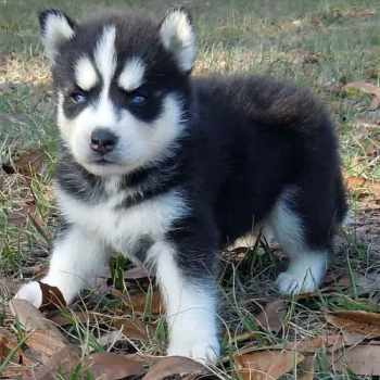 Husky Puppies For Sale In Wv