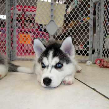 Husky Puppies For Sale Phoenix Az