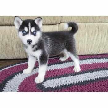 Husky Puppies For Sale Sacramento