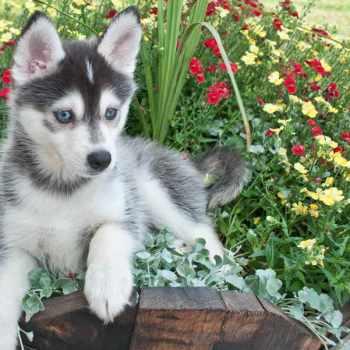 Husky Puppies For Sale Utah