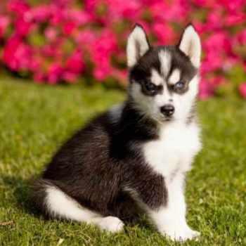 Husky Puppies In Michigan