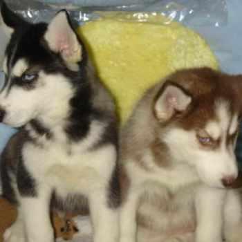 Husky Puppies Long Island