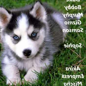 Husky Puppies Names Male