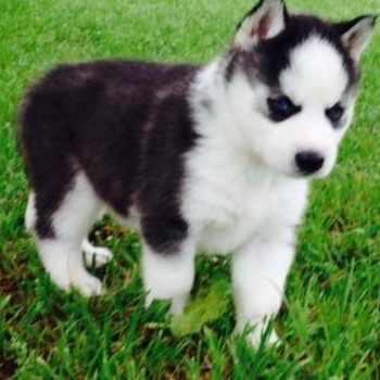 Husky Puppy Florida