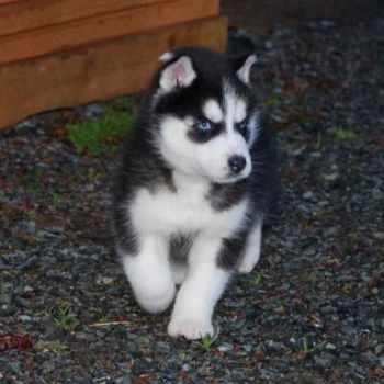 Husky Puppy For Sale Washington