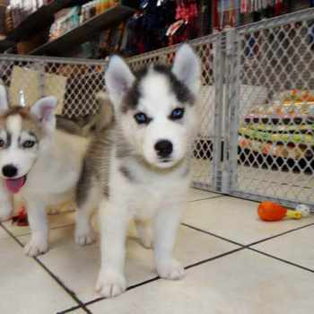 Husky Puppy Rescue