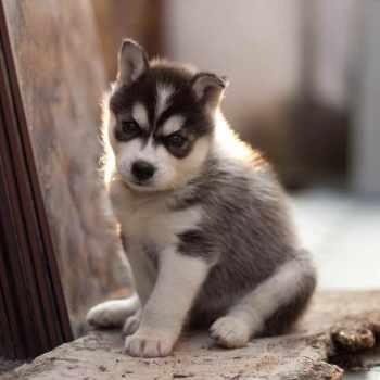 Husky Siberiano Puppy