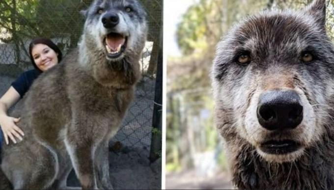 Husky German Shepherd Wolf Mix