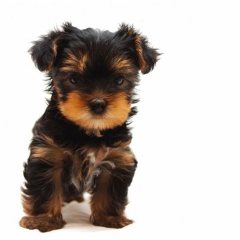 How Much Are Yorkshire Terrier Puppies