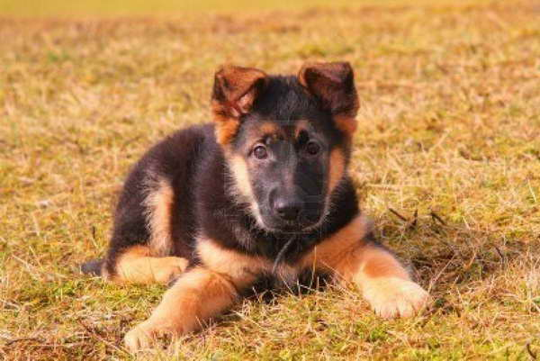 How Much Do German Shepherd Puppies Cost